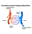 Circulatory system - capilary blood flow vector