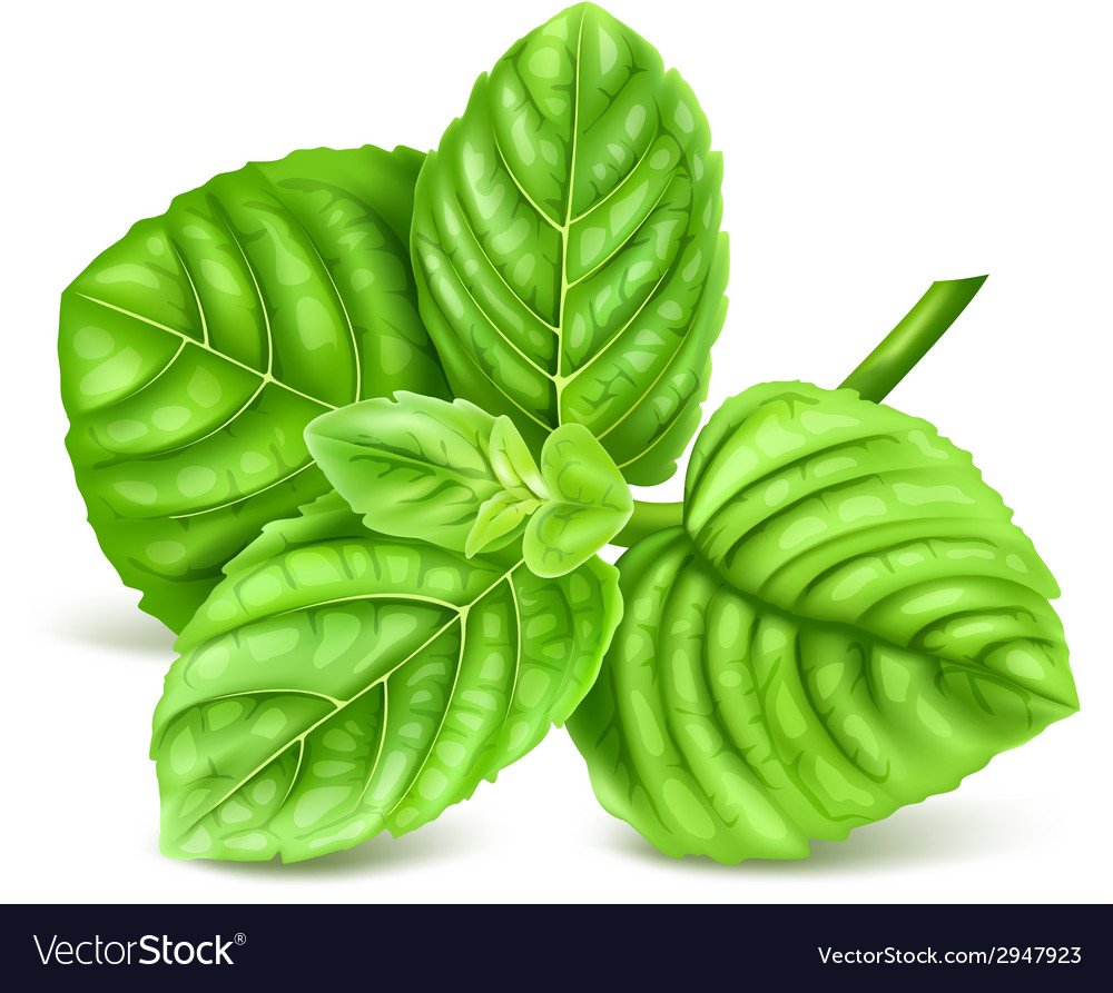 Fresh green mint vector | Price: 1 Credit (USD $1)