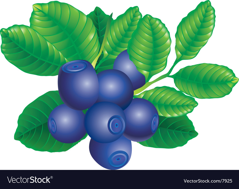 Bilberry vector | Price: 1 Credit (USD $1)