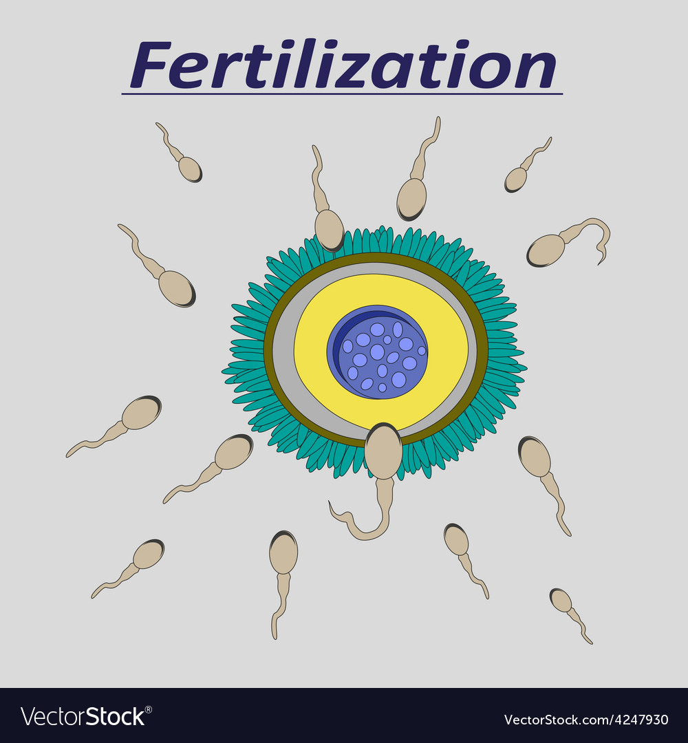 A female egg fertilization sperm vector | Price: 1 Credit (USD $1)