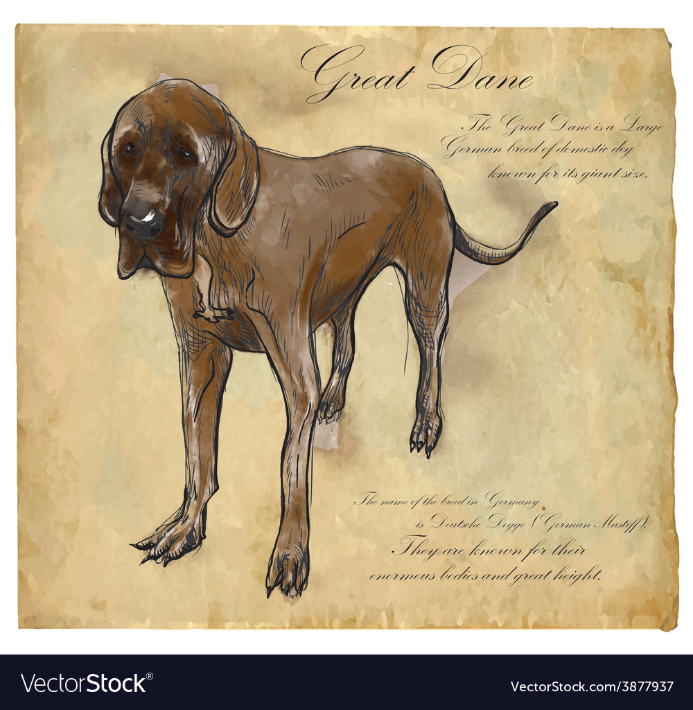 Great dane german mastiff - an hand drawn vector | Price: 1 Credit (USD $1)