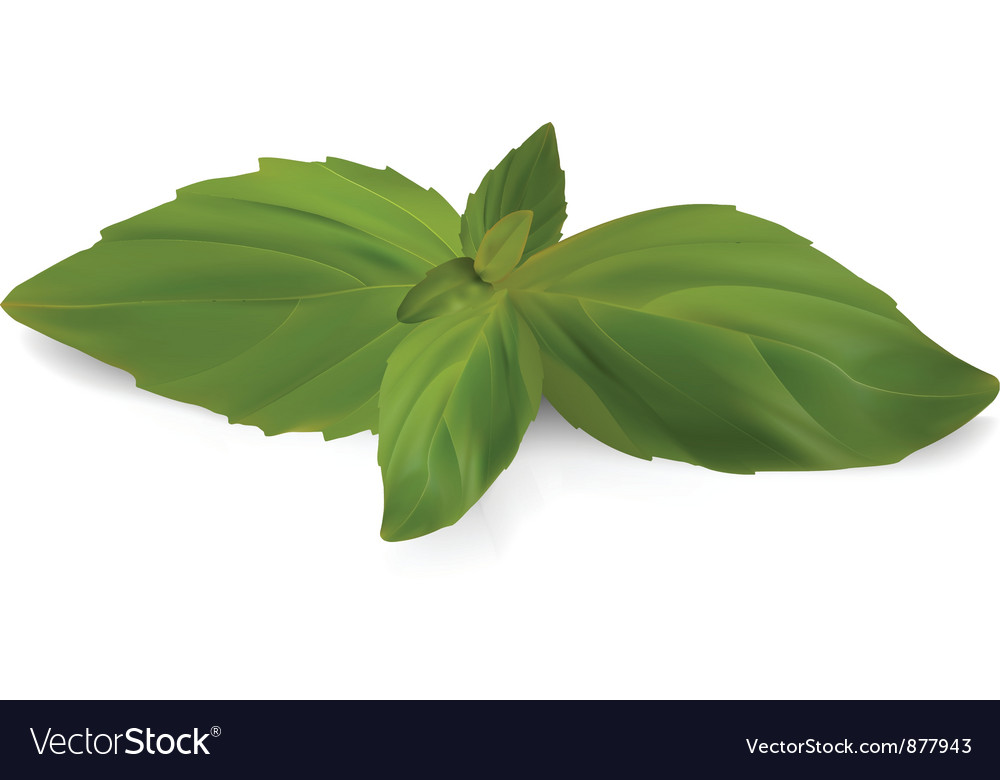 Fresh sweet basil vector | Price: 1 Credit (USD $1)
