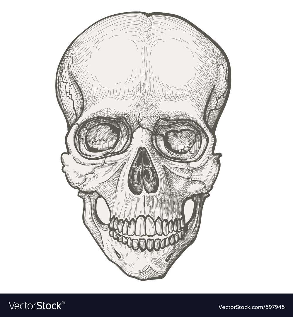 Human skull vector | Price: 3 Credit (USD $3)