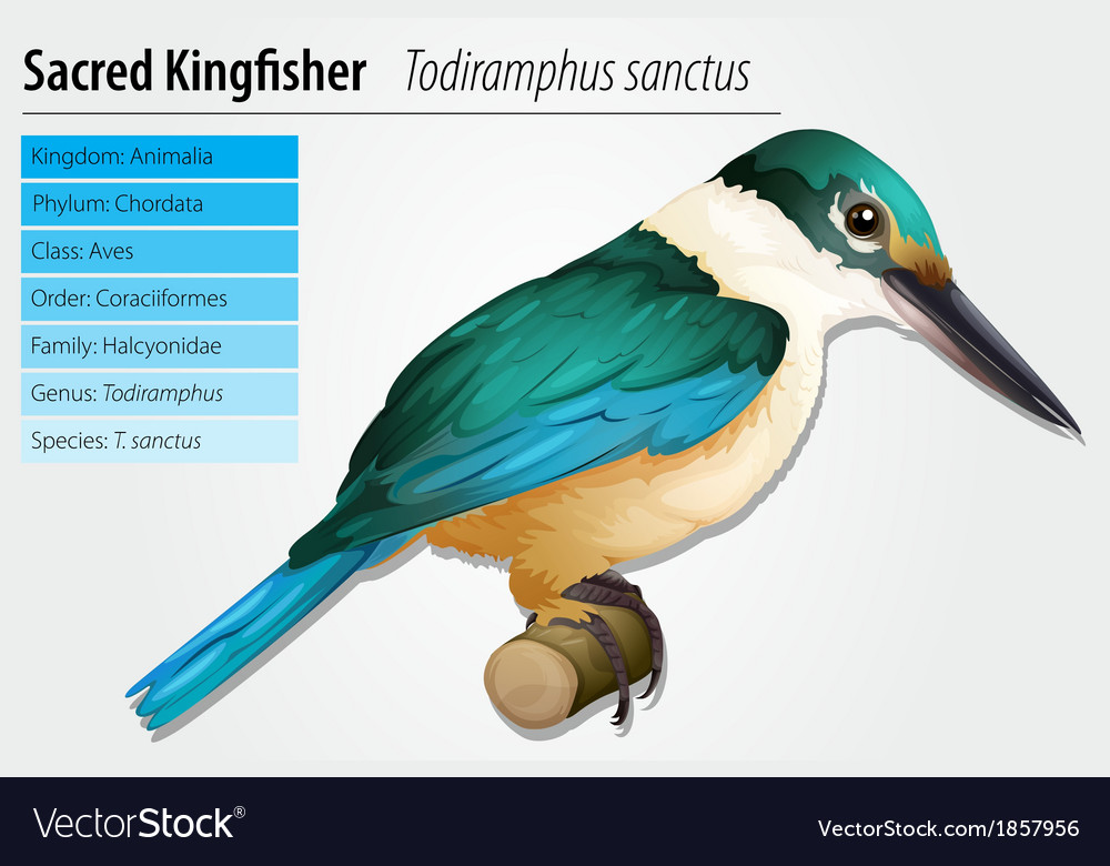 Sacred kingfisher vector | Price: 1 Credit (USD $1)