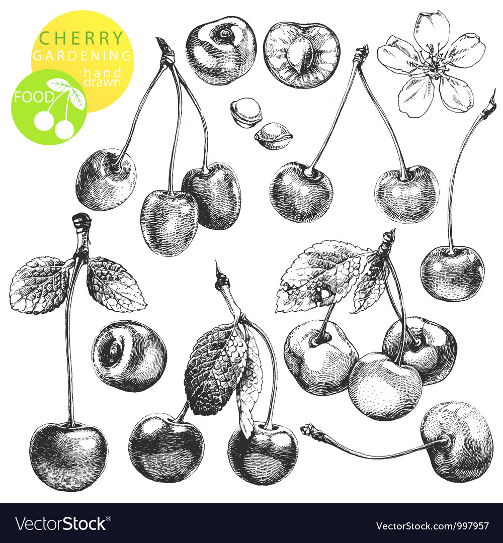 Cherries vector | Price: 1 Credit (USD $1)