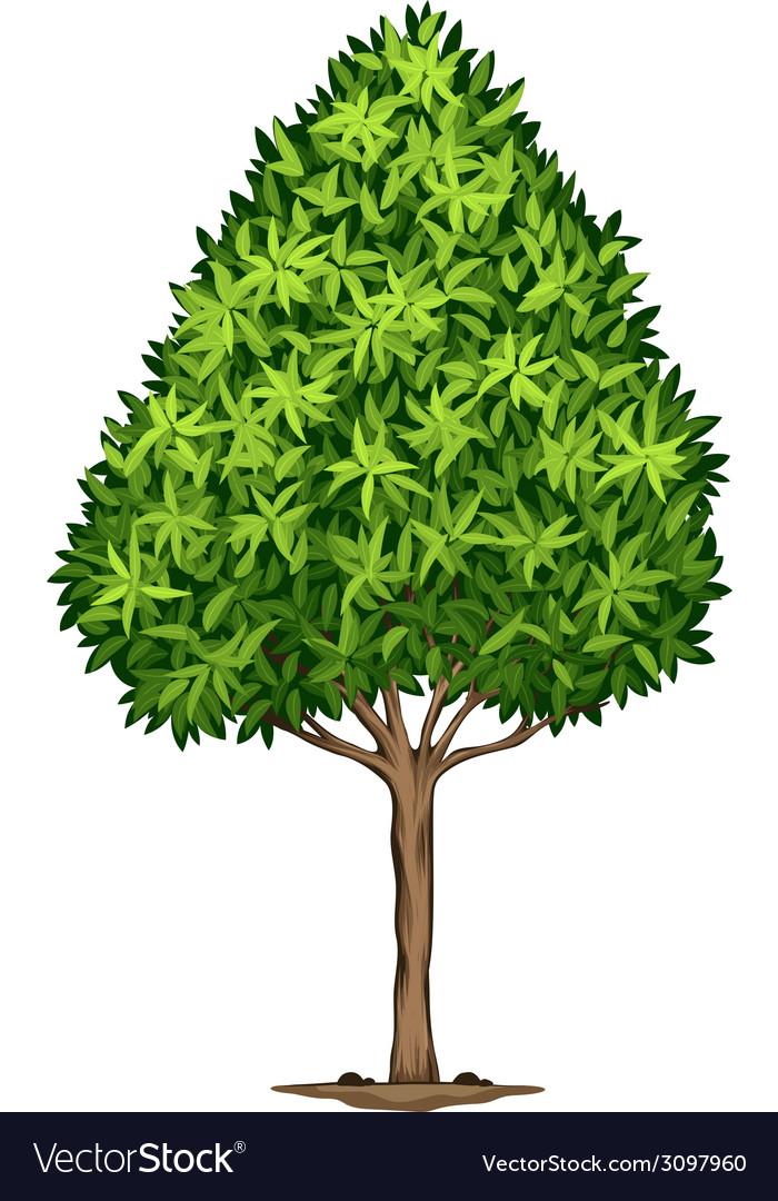 A elaeocarpus decipiens plant vector | Price: 1 Credit (USD $1)