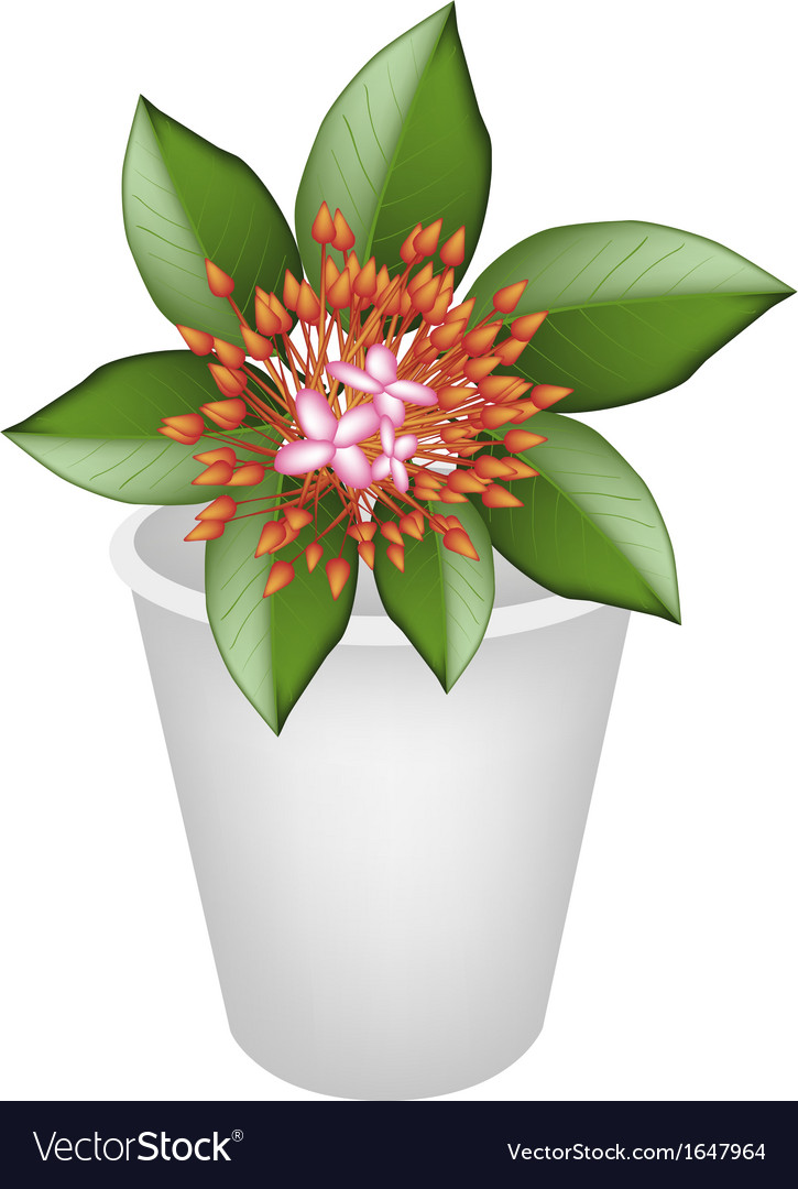 Fresh red ixora flowers in flower pot vector | Price: 1 Credit (USD $1)