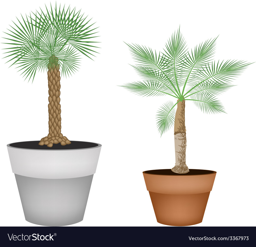 Two isometric palm trees in terracotta pots vector | Price: 1 Credit (USD $1)