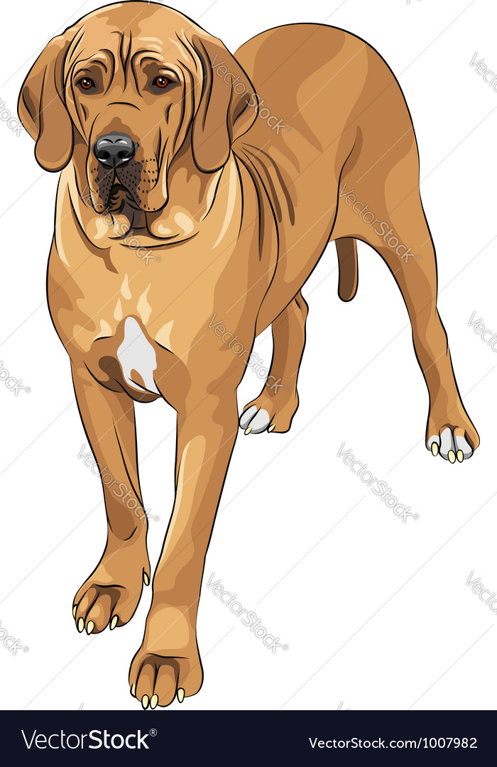 Domestic dog fawn great dane breed vector | Price: 3 Credit (USD $3)