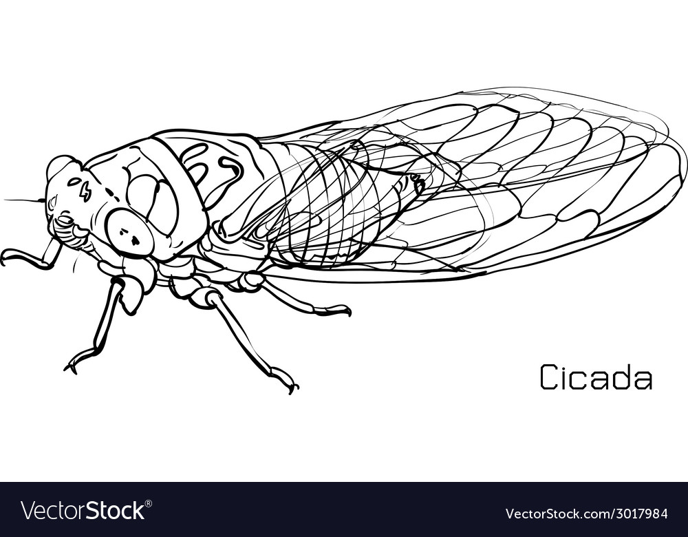 Drawing of cicada vector | Price: 1 Credit (USD $1)