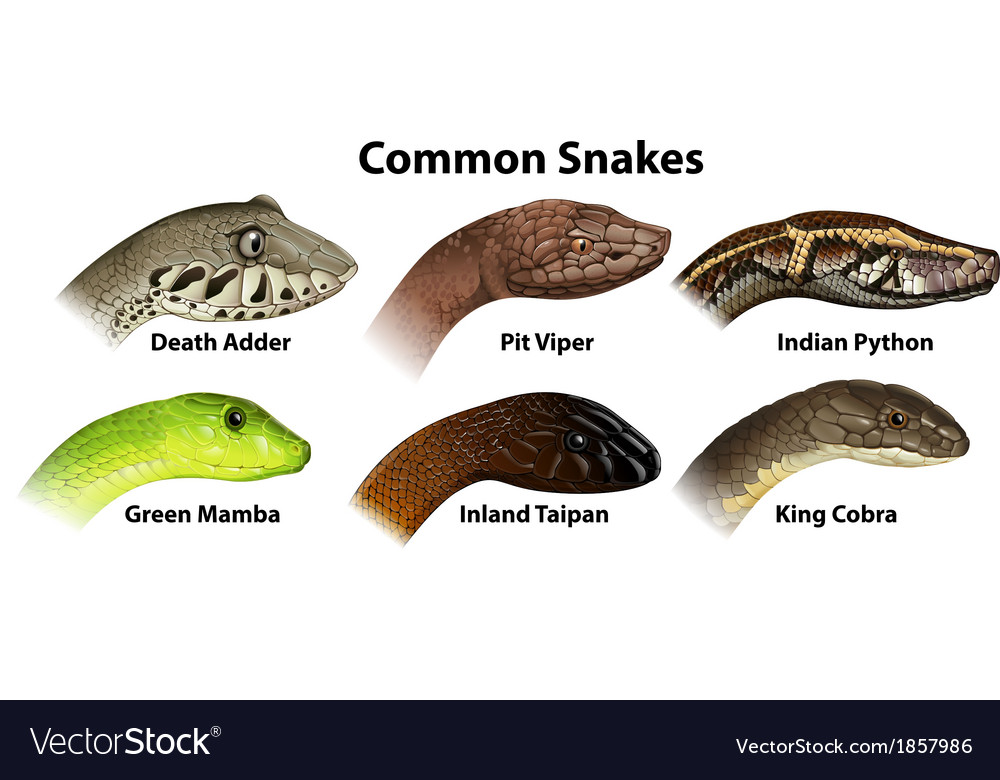 Common snakes vector | Price: 1 Credit (USD $1)