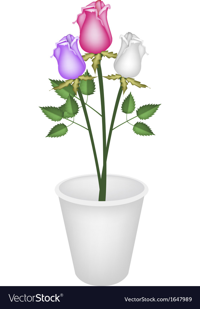 Three beautiful roses in white flower pot vector | Price: 1 Credit (USD $1)