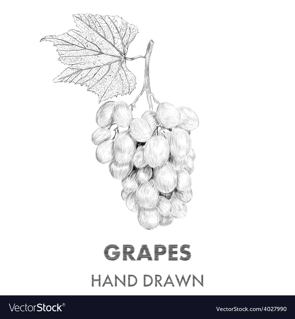 Sketch of grapes cluster with a leaf hand drawn vector | Price: 1 Credit (USD $1)