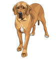 Domestic dog fawn great dane breed vector