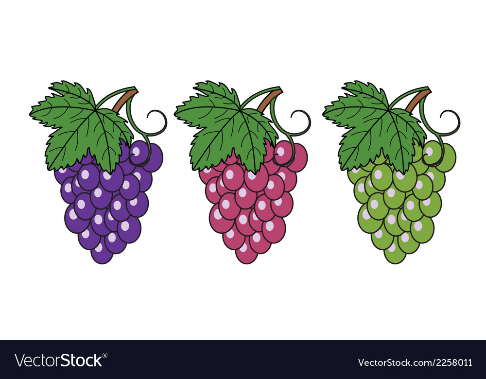 Bunches of grapes vector | Price: 1 Credit (USD $1)