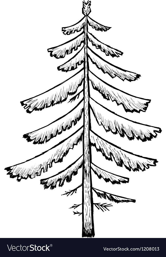 Spruce vector | Price: 1 Credit (USD $1)