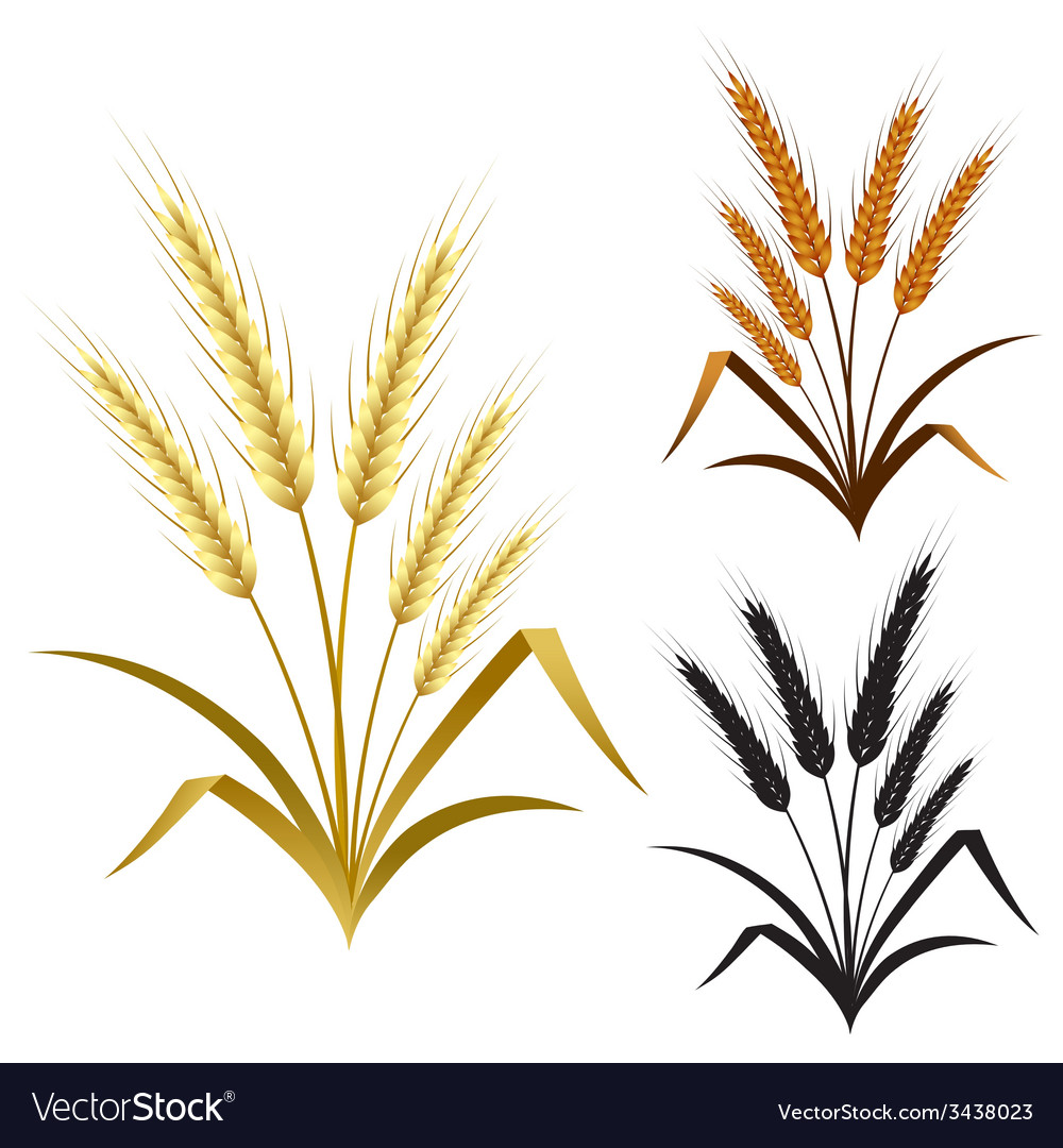 Ears of wheat rye or barley decorate element set vector | Price: 1 Credit (USD $1)