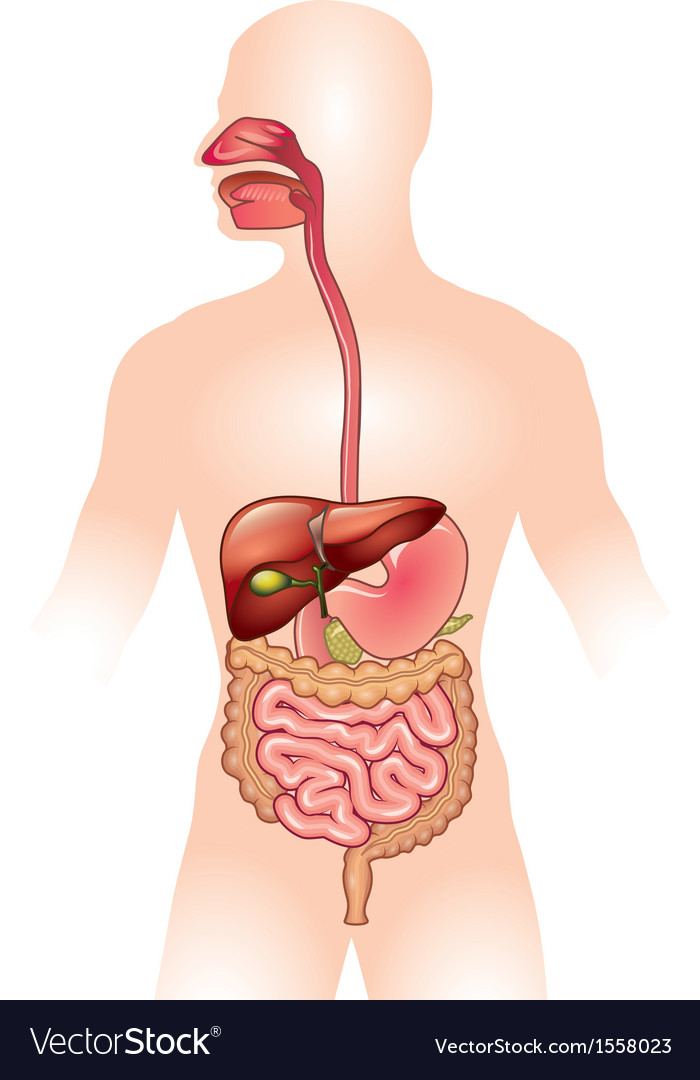 Human digestive system vector | Price: 1 Credit (USD $1)