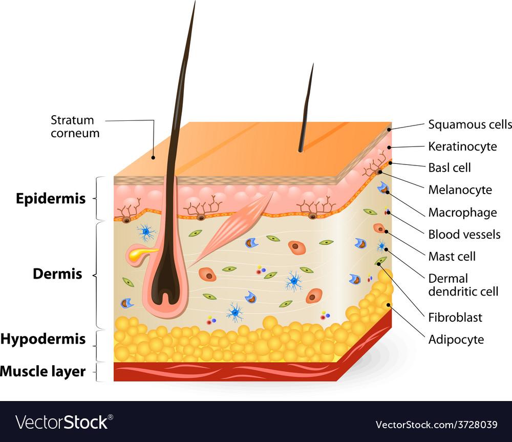 Human skin anatomy vector | Price: 1 Credit (USD $1)