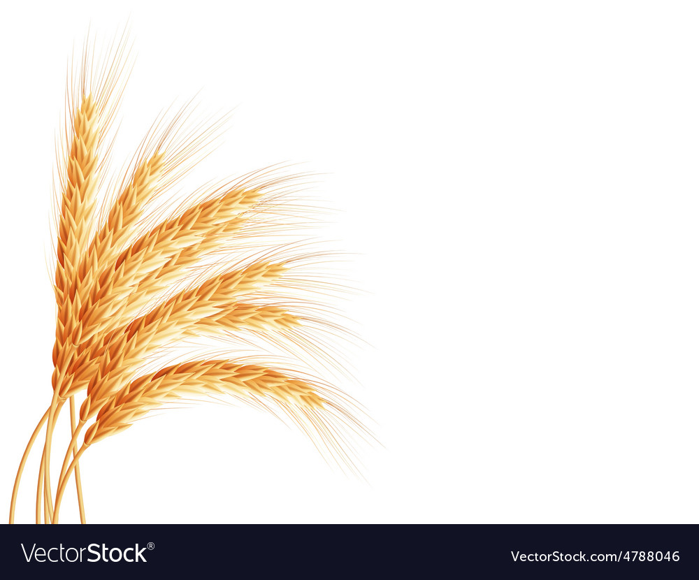 Wheat ears isolated on white background eps 10 vector | Price: 3 Credit (USD $3)
