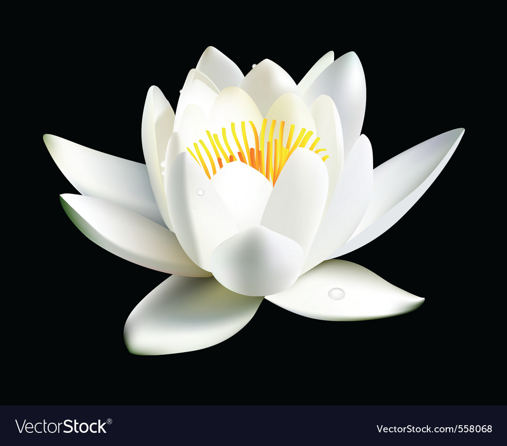 Water lily flower vector | Price: 1 Credit (USD $1)