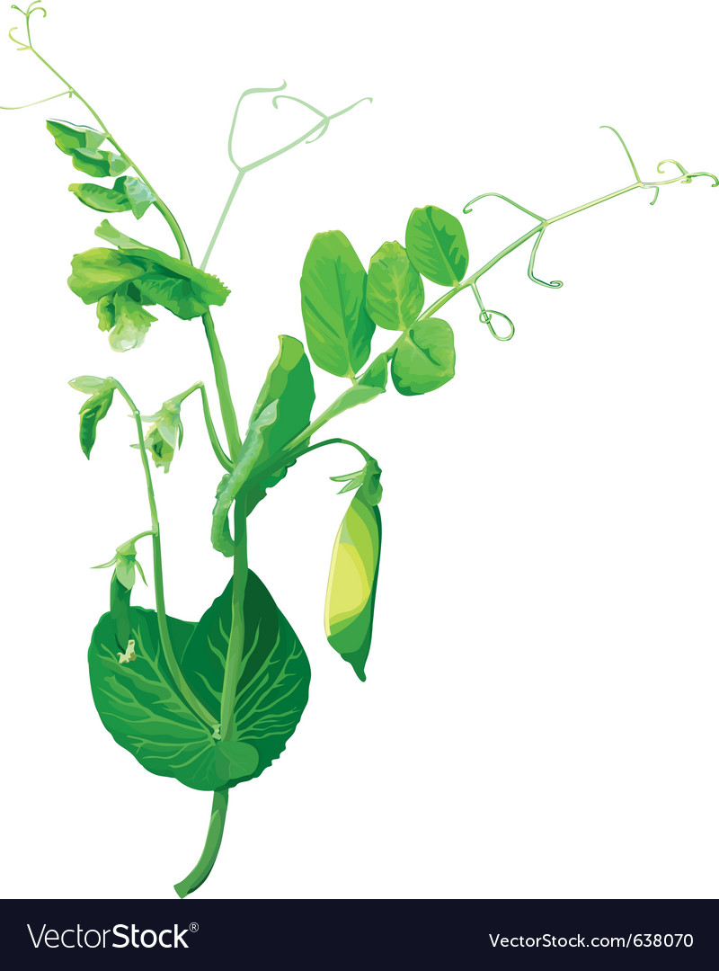 Green pea flowers vector | Price: 1 Credit (USD $1)