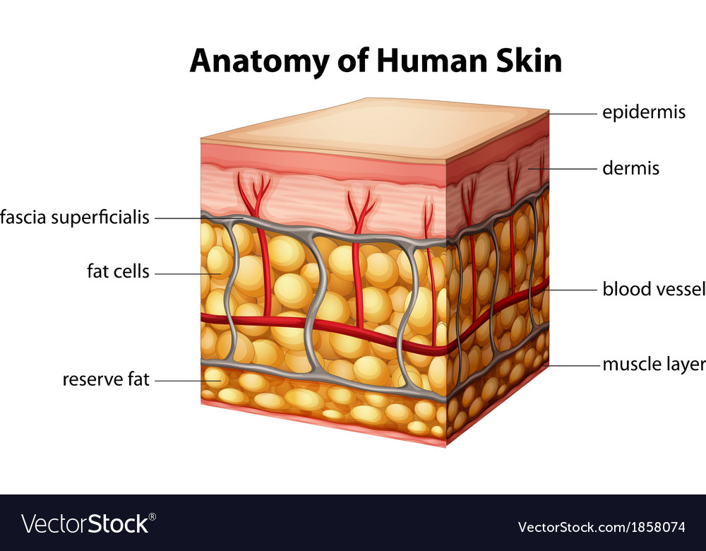 Human skin anatomy vector | Price: 1 Credit (USD $1)