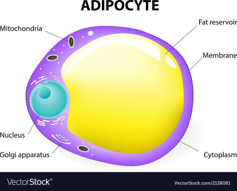 Fat cell vector | Price: 1 Credit (USD $1)