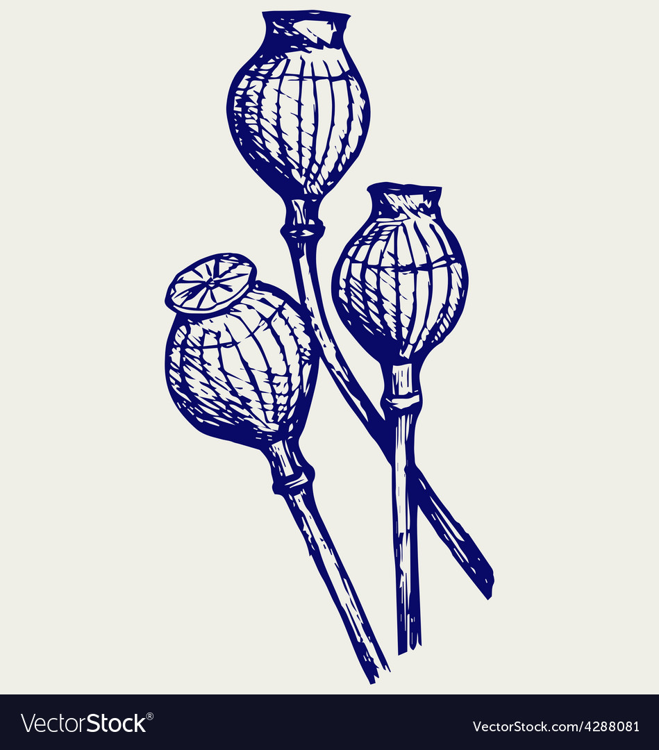 Opium poppyhead vector | Price: 1 Credit (USD $1)
