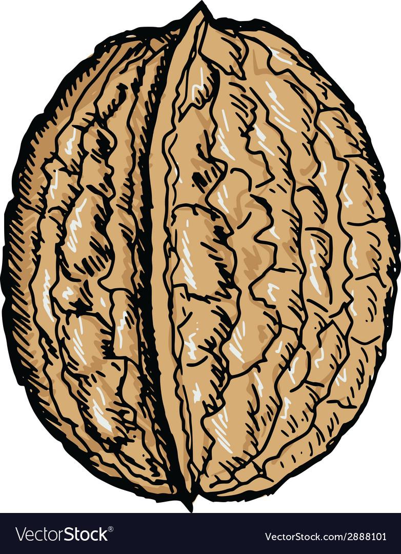 Walnut vector | Price: 1 Credit (USD $1)