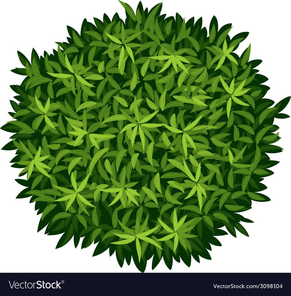 A elaeocarpus decipiens vector | Price: 1 Credit (USD $1)
