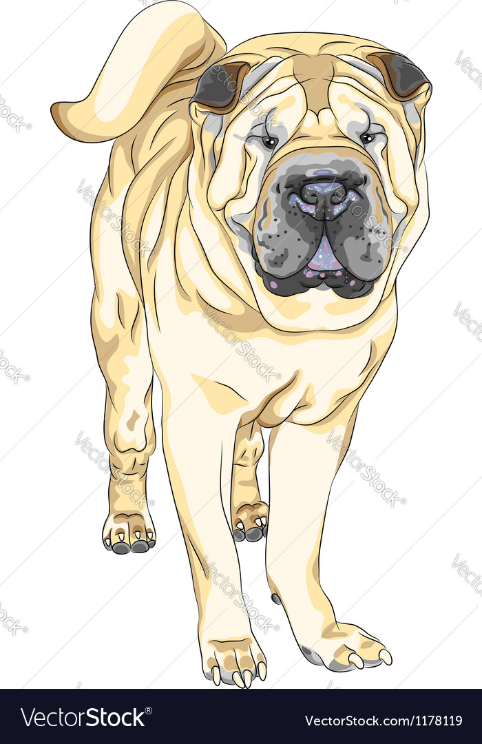 Sketch yellow gun dog breed chinese shar pei vector | Price: 1 Credit (USD $1)