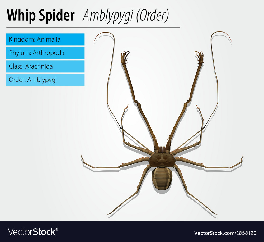 Amblypygi - genus vector | Price: 1 Credit (USD $1)