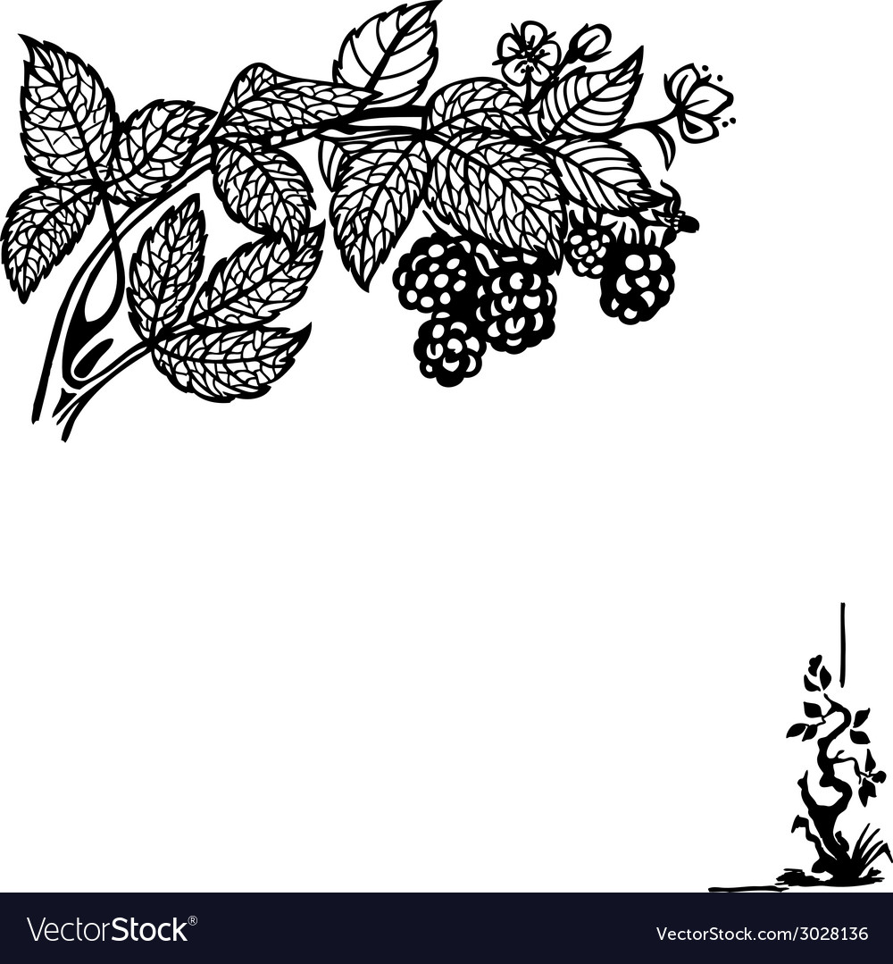 Blackbarry branch vector   Price: 1 Credit (USD $1)