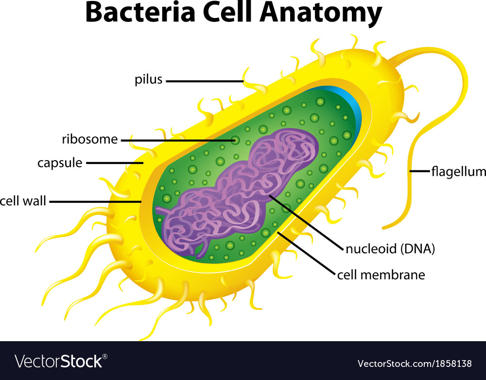 Bacteria cell structure vector | Price: 1 Credit (USD $1)