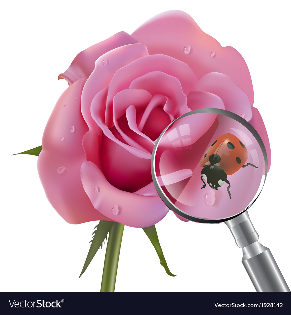 Ladybug is under the magnifying glass on rose vector | Price: 1 Credit (USD $1)