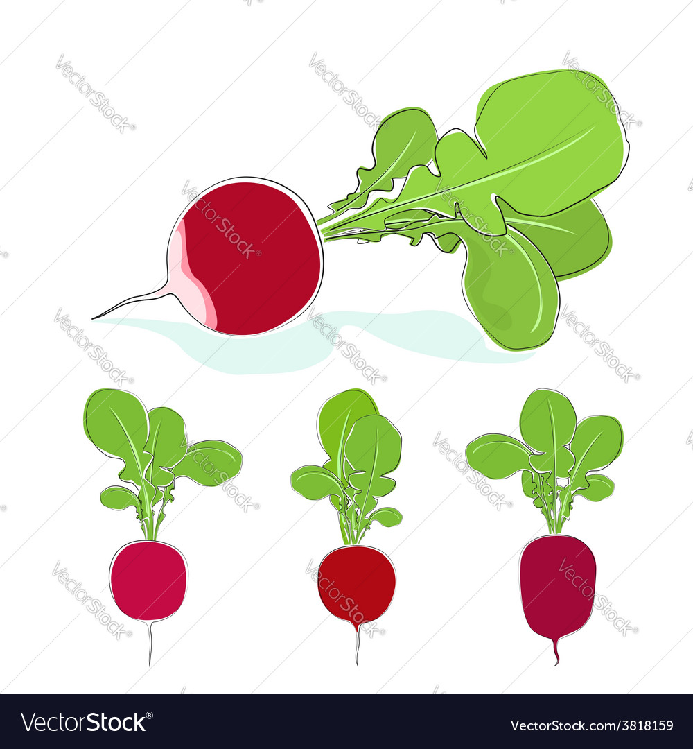 Radish vegetable with leaves on a white background vector | Price: 1 Credit (USD $1)