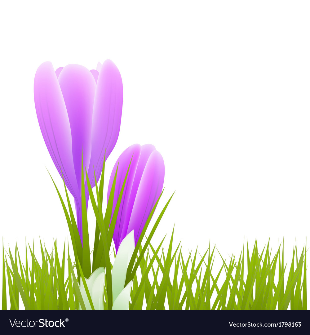 Crocus b 01 vector | Price: 1 Credit (USD $1)