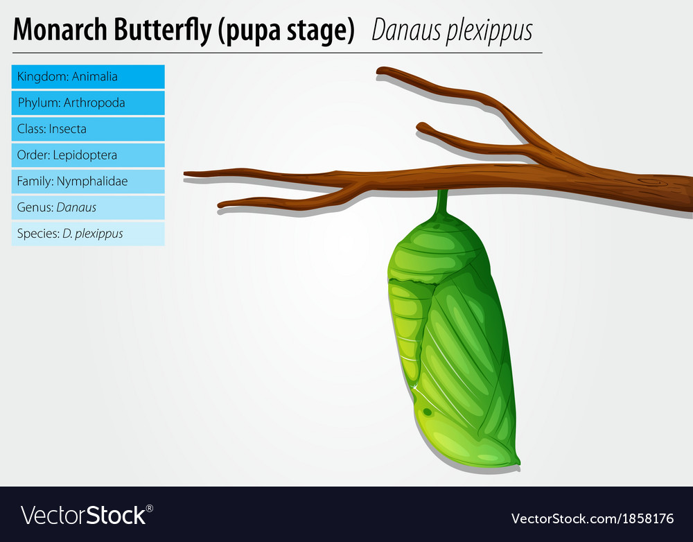 Monarch butterfly - danaus plexippus - pupa stage vector | Price: 1 Credit (USD $1)