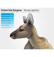 Eastern grey kangaroo vector
