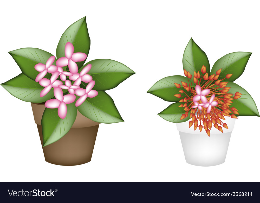 Fresh red and pink ixora in flower pots vector | Price: 1 Credit (USD $1)
