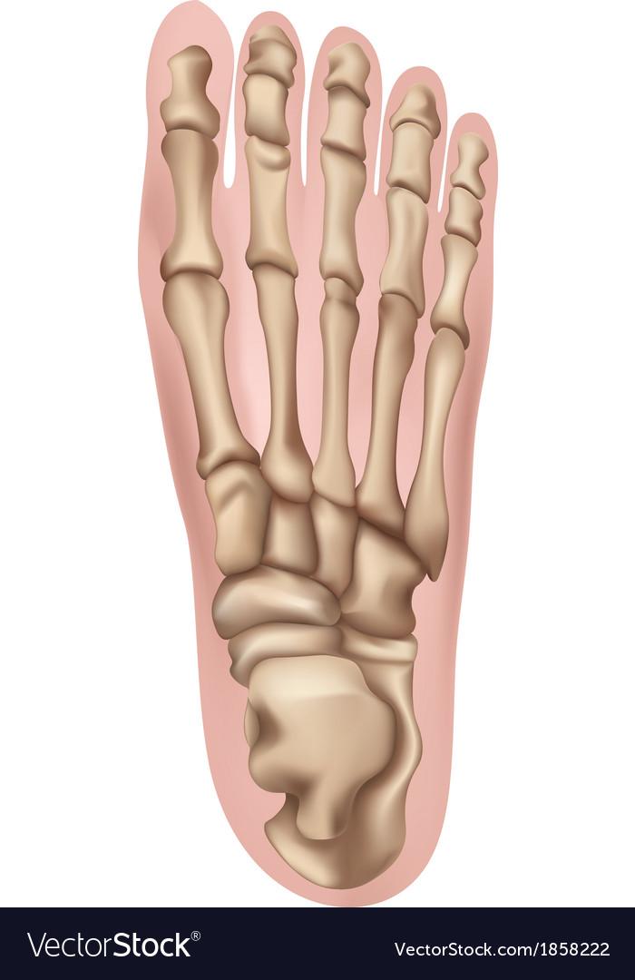 Human foot vector | Price: 1 Credit (USD $1)
