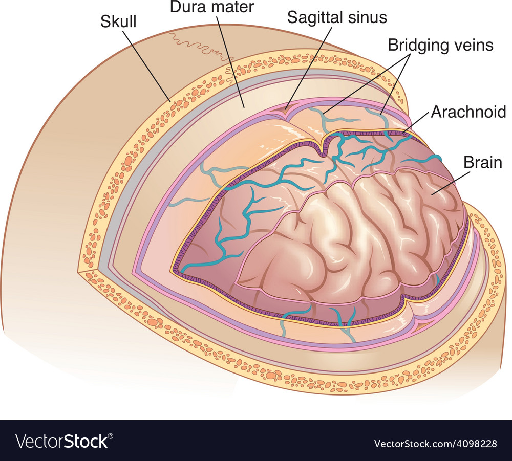 Human brain layers vector | Price: 3 Credit (USD $3)