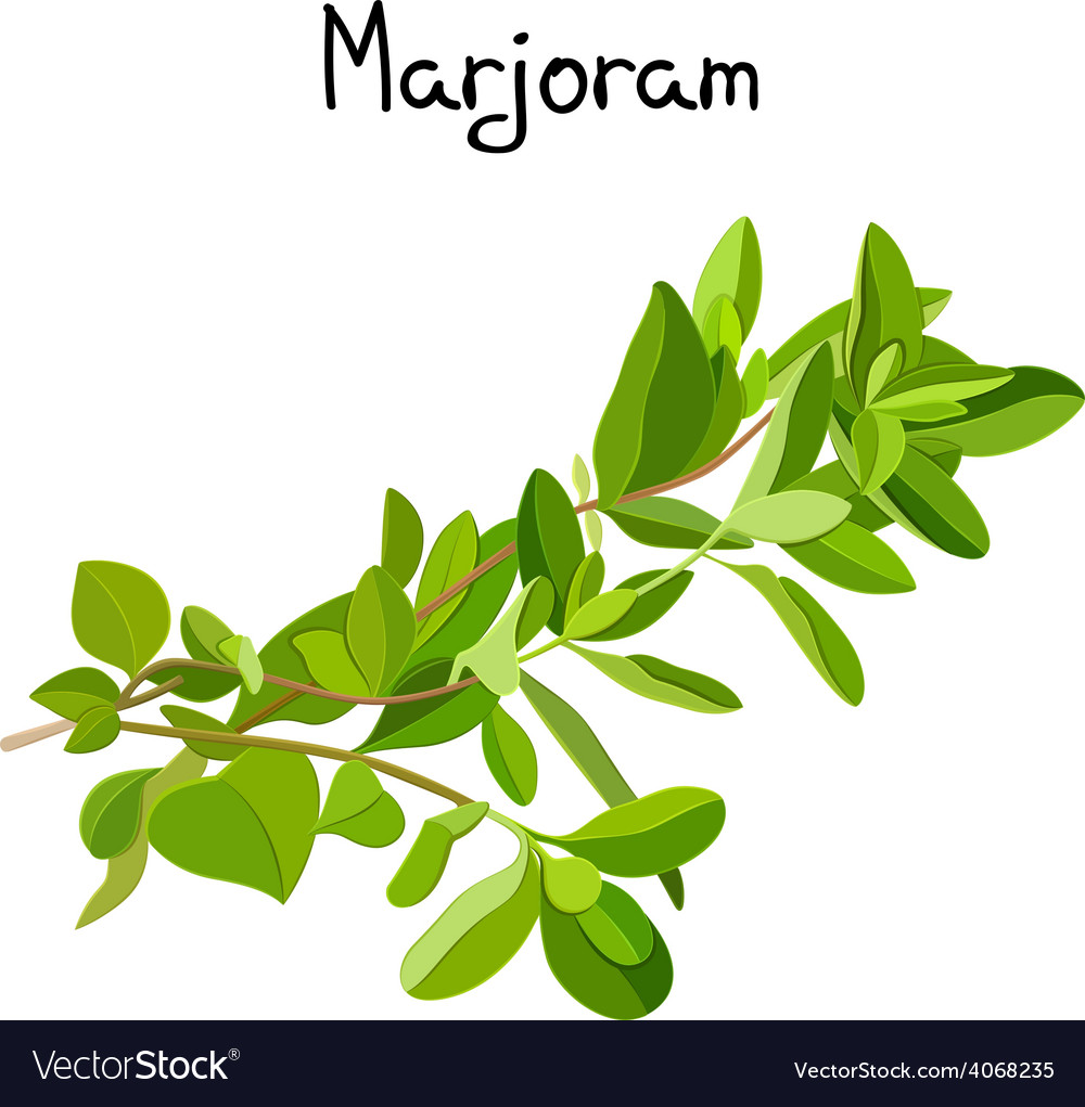 Marjoram sprigs vector | Price: 1 Credit (USD $1)