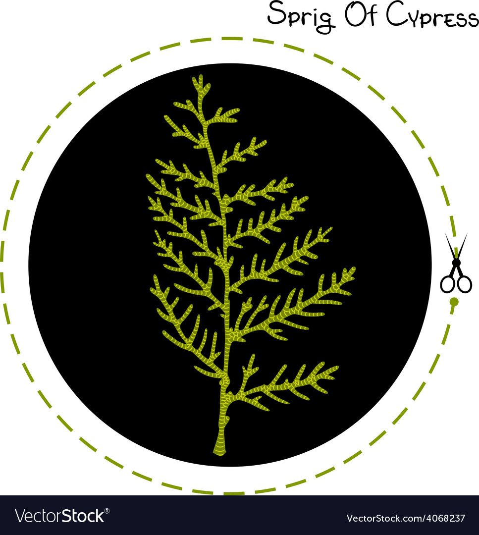 Cypress sprig vector | Price: 1 Credit (USD $1)