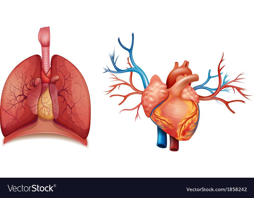 Heart organ vector | Price: 1 Credit (USD $1)