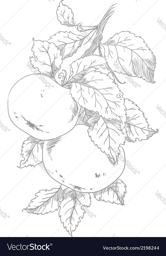 Apple on branch of the aple trees vector | Price: 1 Credit (USD $1)