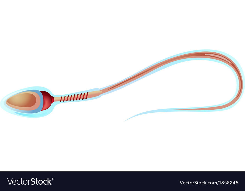 Sperm cell structure vector | Price: 1 Credit (USD $1)