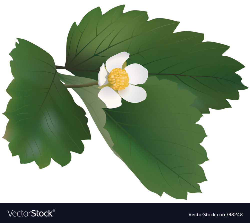 Wild strawberry plant vector | Price: 1 Credit (USD $1)