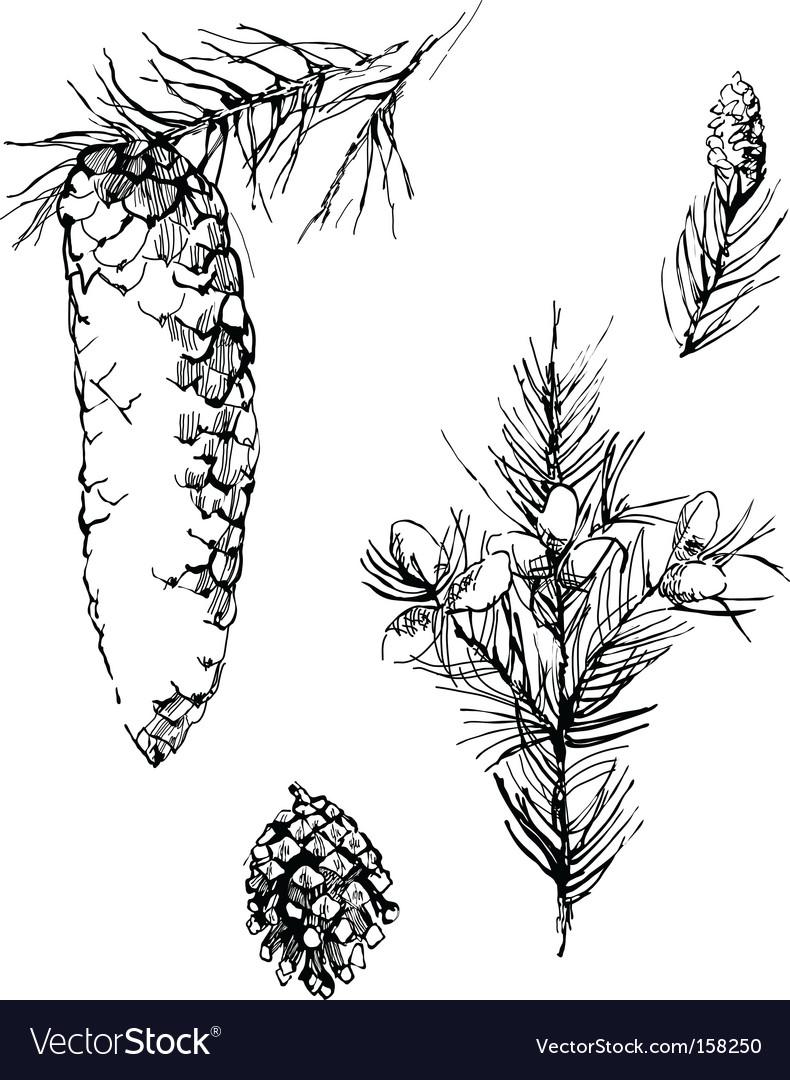 Fir cones sketch vector | Price: 1 Credit (USD $1)